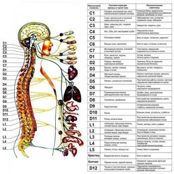 диагностика позвоночника и влияние на внутренние органы