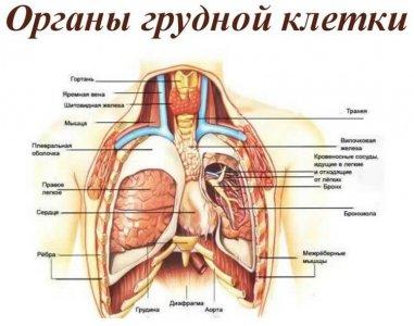 строение органов грудной клетки