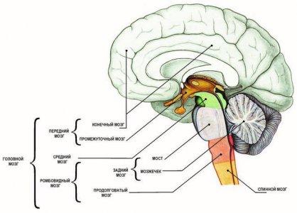 Схема головного мозга по в сагиттальной проекции
