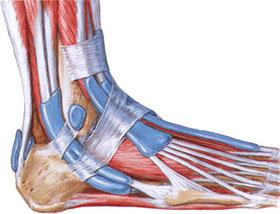 Мышцы и связки голеностопного сустава, повреждаемые при растяжении голеностопа, травмы голеностопного сустава растяжения