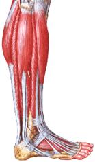 Мышцы и связки голеностопного сустава, повреждаемые при растяжении голеностопа травмы голеностопа